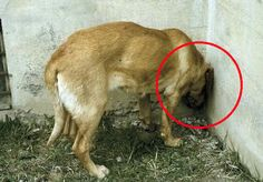 What This Dog Is Doing Is A Medical Emergency. Find Out Why Head Pressing Can Kill.