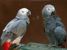 Parrots Glued to Trees Will Fly Free in Rainforest. The details surrounding this article break my heart, glad it has a happy ending . at least for these birds. Equatorial Africa, Sleeping Animals, African Grey Parrot, Post Animal, Network For Good, Exotic Birds, Animals Images, Endangered Species, Bird Species