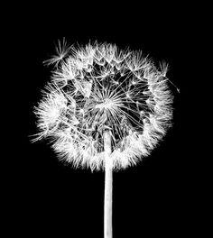 Dandelion flowers black and white art print wall por Chachaprints