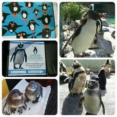 A cute collage of penguins from SANCCOB in Cape Town, for your viewing pleasure.