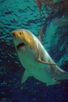 f6e1f73a843b Great White Shark Dies After Days In Japan Aquarium