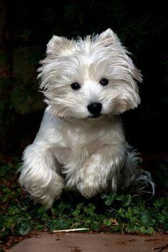 West Highland Terrier, 'Westie'.