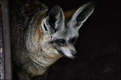 Natürlich damit der kleine Löffelhund alles besser hören kann...   was zu fressen oder anschleichende nervende Fotografen :-)   Er hatte es sich in der Hütte gemütlich gemacht aber immer ein wachsames Auge auf die Gestalten mit den Kamers und Objektiven...   Zoo Krefeld