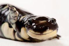 Californian Tiger Salamander