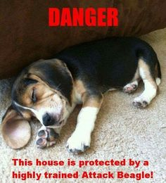 Beagles are questionable guard dogs