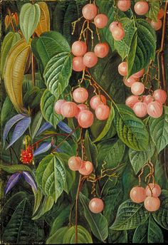 Plants of the Sarawak, Marianne North