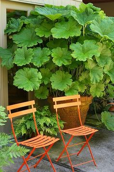 "Want to try something different in the garden? ... Darmera peltata... (Indian rhubarb or umbrella plant) Leaves can grow up to 24"" wide. Can grow in moist or even boggy soil."