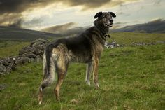 """Molly of Clashnettie, 2011. Photography from Andrew Fladeboe's working dogs series """"The Shepherd's Realm."""" """"The animals in our works stand on their own as sentient beings. They occupy the print with an aura of dignity and command a level of respect from the viewer. They are not anthropomorphic photos of animals, but a celebration of what these animals are for what they are."""