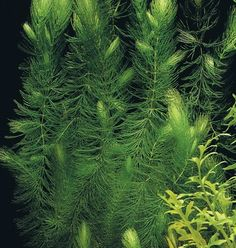 Hornwort ~ A submerged water pond plant