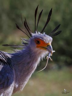 Secretary bird of South Africa 🇿🇦 More Images, South Africa, Safari, Wildlife, African, Birds, Park, Pictures, Photos