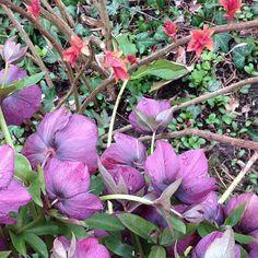 #mindfulness#achtsamkeit#spring#frühling#lentenrose#helleborus#lenzrose#gardening#garten#natur#nature#naturelovers#landliebe#landlust#bauerngarten#gartenglück#gartenliebe#wachstum##growth#flowers#blumen#floral#pink#leaves#structure#life#leben#bud#knospe#hellebores