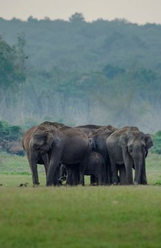 A herd of elephants grazing peacefully in the grasslands of kabini forest on a summer evening.
