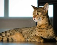 10 ways a Savannah Cat a day can keep the doctor away. There are major health benefits to owning a cat. But why not a Savannah Cat? Expensive Dogs, Most Expensive, Serval, Rare Cats, Cats And Kittens, Le Savannah, Ashera Cat, Large Cat Breeds, Animals Beautiful