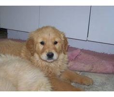 Golden Retrievers I would love to have!