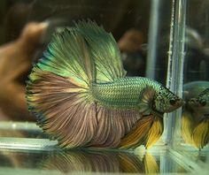 Crowntail Betta Fish | Betta pair...very unique! - GTA Aquaria Forum - Aquarium Fish ...