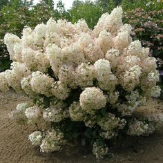 New Bobo Hydrangea, love the blooms & it's hardy!!  Great article on the different types of Hydrangea:    http://www.provenwinners.com/learn/miscellaneous/hydrangea-glossary