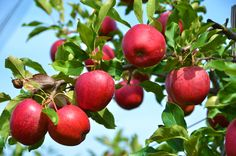Greenhills Nursery offers a wide range of organic fruit trees for wholesale and retail usage. We have quality fruit trees like two year old, maidens, and standards. Organic Fruit Trees, Apple Tree From Seed, Apple Plant, Fruit Tree Nursery, Pick Your Own Apples, Apple Garden, Apple Farm, Tree Pruning, Tree Images