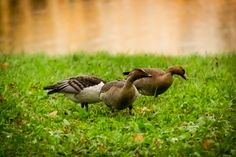 Wild Geese - null