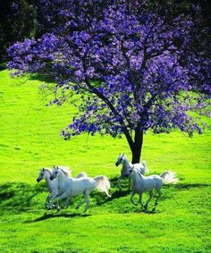 Beautiful white horses running Clydesdale, All The Pretty Horses, Beautiful Horses, Animals Beautiful, Beautiful Beautiful, Absolutely Gorgeous, Majestic Horse, White Horses, Horse Pictures
