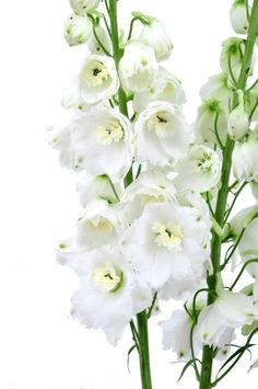 Delphinium White Wholesale Bulk Flowers (100 stems)