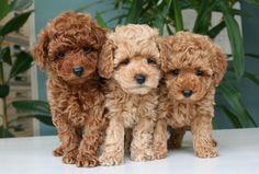 3. Poodle   Dependiendo su tamaño, el Poodle puede ser Estándar, Mediano, Enano o Miniatura/Toy. Se considera que la variedad original es la Estándar (la más grande), la cual se cruzó para ir reduciendo la talla.