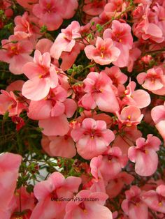 Diascia 'Penhow Little Collection'. Flowers for winter that will grow well in Florida garden.
