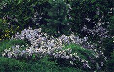 Clematis - Emilia Plater, sprawling over juniper | Źródło Dobrych Pnączy