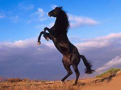 Beautiful Stallion Horses | Beautiful black horse prancing desktop wallpaper