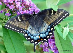Dark Morph~Female Eastern Tiger Swallow Tail #Butterfly