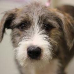 Lark is an adoptable Terrier Dog in Smyrna, GA. Lark is an adorable shaggy pup that will steal your heart if you're not careful.  Just one look and you will be spellbound!  Lark is a gentle, goofy gir...