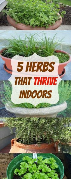 Indoor Vegetable Gardening herbs that thrive indoors - Looking to grow your herbs indoors? These are the 5 herbs that THRIVE indoors and we'll show you exactly how to plant them! Indoor Vegetable Gardening, Organic Gardening, Container Gardening, Gardening Tips, Urban Gardening, Herb Garden Indoor, Gardening Services, Gardening Supplies, Gardening Zones