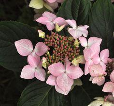 Hydrangea macrophylla 'Jean Varnier'  sport of 'Lanarth White' - Beautiful Hydrangeas -Copyright Dirk Staels  -  Dirk Staels - Google+