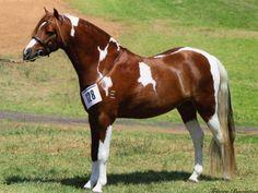 Chestnust/White Australian Pony Pinto Gelding.