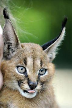 Beautiful Caracal Lynx | #Information #Informative #Photography