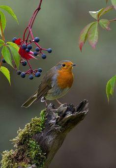Another robin - # robin- Noch ein Rotkehlchen – Another robin – - Cute Birds, Pretty Birds, Beautiful Birds, Animals Beautiful, Nature Animals, Animals And Pets, Cute Animals, Robin Bird, Tier Fotos