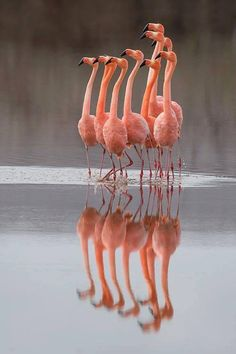 Greater Flamingos at Punta Cormorant, Floreana Island, Galapagos, Ecuador. By Richard Bernabe Photography Pretty Birds, Beautiful Birds, Animals Beautiful, Pretty In Pink, Cute Animals, Beautiful Pictures, Flamingo Art, Pink Flamingos, Flamingo Photo
