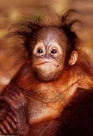 Image result for BABY GORILLA