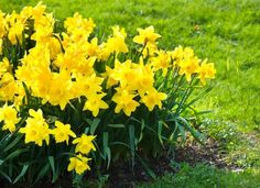 25 Plants That Survive With or Without You : Daffodils easy care plant Outside Plants, Outdoor Plants, Outdoor Gardens, Outdoor Fun, Outdoor Spaces, Garden Yard Ideas, Lawn And Garden, Patio Ideas, Garden Paths