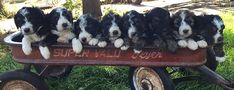 Snapadoodles of Sheepadoodles English Sheepdog Puppy, Sheep Dog Puppy, Cute Baby Animals, Cute Babies, Doodles, Puppies, Photos, People, Dogs