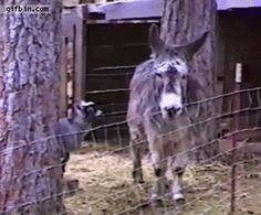Used dorkey donkey sex stimulator for sale