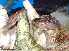 """Neolamprologus meleagris """"pearly ocellatus"""""""