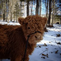 Miniature Breeds Of Cattle That Are Perfect For Small Farms Cute Baby Cow, Baby Cows, Cute Cows, Cute Babies, Baby Farm Animals, Fluffy Cows, Fluffy Animals, Animals And Pets, Asheville