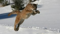 mountain-lion-