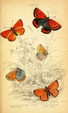 free vintage graphics to print | Vintage butterfly prints. Natural History of British Butterflies ...