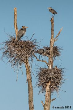 2018 Sterling Nature Center, Sterling NY- -Great Blue Heron Rookery