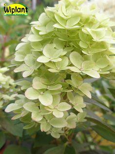 Hydrangea pan. 'Phantom', Hortensia. Vackra vita blommor.  Mycket stora blomklasar.  Bör beskäras.   Höjd: 1-1,5 m.  Surjordsväxt pH 4-5.