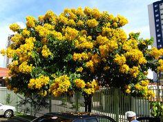 Manduirana (Senna macranthera): Com suas flores amarelas em cachos é uma árvore exuberante que desenvolve-se com o sol e floresce entre os meses de dezembro a abril.