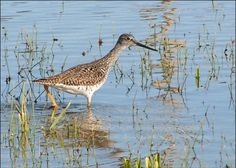Greater Yellowlegs- seen at Assateague Island