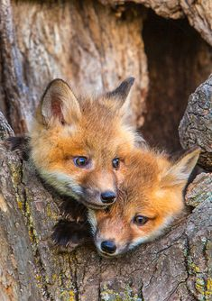 I took this photo during one of my baby wildlife workshops. These two red fox kits were constantly in motion, and the challenge is two fold. First, the shutter has to be fast enough to freeze . Super Cute Animals, Cute Little Animals, Cute Funny Animals, Cute Dogs, Fox Pictures, Cute Animal Pictures, Fuchs Baby, Wild Animals Photography, Wildlife Photography