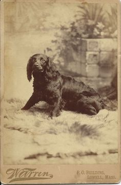 1880s dog photo. Cabinet card of spaniel taken in studio of G.K. Warren, P.O. Building, Lowell, Mass. From bendale collection